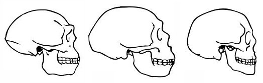 Fig  1 14  Skulls of H...